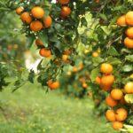 Prevén comercializar más de 45.000 toneladas de la mandarina Orri en la campaña 2017-2018