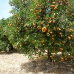 La campaña de naranja en Córdoba se encuentra al 35% con una previsión de buena cosecha