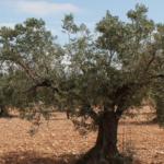 Agricultores alicantinos recurrirán al TCA para la paralización cautelar del arranque de árboles sanos del 3º y 4º foco de X. fastidiosa