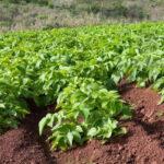 Investigadores rastrean los orígenes de la patata