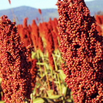 China levanta el arancel antidumping al sorgo de EEUU