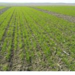 Estado del trigo duro en Andalucía