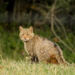 El gato montés, clave en la regulación de las poblaciones de rata topera en la Montaña Palentina