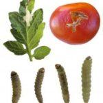 Científicos españoles desarrollan tomates resistentes a plagas