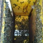 LA UNIÓ detecta los primeros casos de envenenamiento de abejas por el uso de plaguicidas durante la floración de los frutales