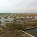 Compromís reclama al Gobierno medidas para salvar la producción estatal de arroz frente a las importaciones que inundan el mercado