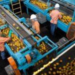 Incidencias en el sistema informático de la SS obliga a los trabajadores de manipulado de frutas a devolver prestaciones percibidas por error