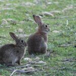 Ministerio de Fomento, ADIF y las Confederaciones Hidrográficas impiden terminar con la plaga de conejos