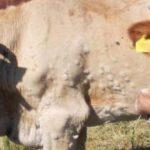 La vacunación es muy efectiva contra la dermatosis nodular contagiosa según se ha comprobado en los Balcanes