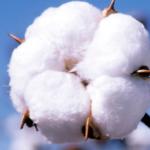 La Junta de Andalucía abona el primer pago de la ayuda específica al cultivo del algodón, que alcanza los 51,3 millones de euros