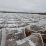 Murcia remite al Mapama el informe de daños en los cultivos por incidencias climatológicas adversas del pasado año