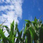 El maíz Bt se cultiva en España desde hace 20 años