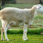 Los precios de la leche de oveja en Castilla-La Mancha han descendido en un 5,6% en 2017