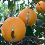 Agroseguro incluye el rajado de los cítricos como adversidad climática con derecho a indemnización