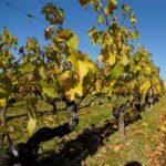 Solo 12 variedades de vid ocupan la mitad la superficie de viñedos del mundo
