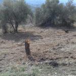 Sexto foco de Xylella en Alicante