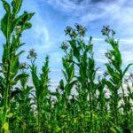 Proyecto europeo para desarrollar variedades de tabaco beneficiosas para la salud