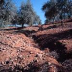 GO para investigar el control de cárcavas para frenar la erosión en el olivar