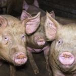 Denuncian con un video el estado de cerdos destinados a elaborar Jamón de Parma