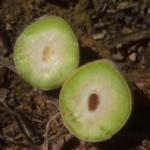 Las heladas causan pérdidas de 35 millones por daños en 7.500 hectáreas de frutas, caqui y cítricos