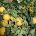 Preocupación por el incremento de las importaciones de sandia y melón de Senegal y Marruecos