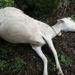 La abundante lluvia está provocando la muerte de corderos recién nacidos en Jaén