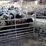 Investigado el propietario de un rebaño de ovejas y cabras de Lliçà d'Amunt por maltrato animal