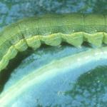 Autorización excepcional en Andalucía de fitosanitarios a base de indoxacarb contra Spodoptera