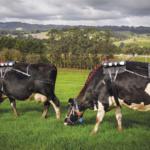 Las emisiones de GEI del ganado lechero representa el 14,5 % de las emisiones de origen antropogénico