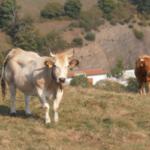 La cabaña ganadera de vaca nodriza española la que más aumenta de la Unión Europea