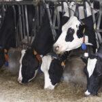 La Diputación de Girona promueve el genotipado de 1.479 terneras de 33 granjas