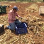 Cooperativas Agro-alimentarias consigue introducir una mejora en el seguro del ajo para la campaña 2019