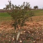 La Comunidad de Madrid destinará 2 millones de euros para indemnizar a los agricultores por Xylella