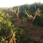 Inician 92 acciones legales por explotación ilegal de la mandarina Orri