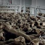 Un buque cargado de ovejas australianas bloqueado por el deplorable estado de los animales