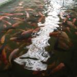 La acuaponía y las granjas de agro-acuicultura integradas hacen un uso eficiente del agua
