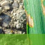 Principales enfermedades del trigo y la cebada
