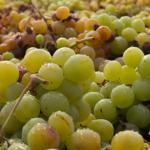 La uva pasa moscatel distinguida como patrimonio agrícola mundial por la FAO