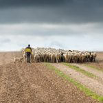 El 94% de la leche de oveja se vendió en febrero con contrato o con acuerdo cooperativo