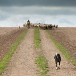 La oveja bombera, nueva ayuda de Castilla-La Mancha