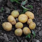 Patatas que no se ennegrecen después de cortarlas