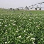 Los países del norte de Europa siembran más patatas a pesar de los bajos precios