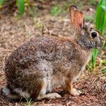 Las ayudas anti-conejos de Castilla-La Mancha se pueden solicitar hasta el 7 de agosto