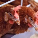 Agua y salud aviar