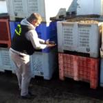 La Guardia Civil detecta un puesto de compraventa de aceitunas que supuestamente falsificaba los documentos de origen