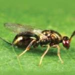 Suelta experimental del parasitoide Torymus sinensis para el control de la avispilla del castaño en León