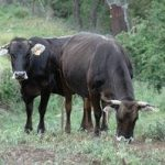 Cataluña hace seguimiento de siete casos de tuberculosis bovina detectados en rebaños del Pallars Sobirà, el Pallars Jussà y el Alt Urgell