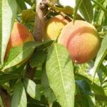Los precios de la fruta bajan un 45% en el campo mientras que se disparan un 300% para los consumidores