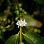 Nueva secuencia genética de la variedad comercial de café más cultivada en el mundo