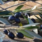 El 10 de julio es la fecha clave para la aceituna negra